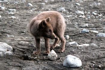 Langidalur fox