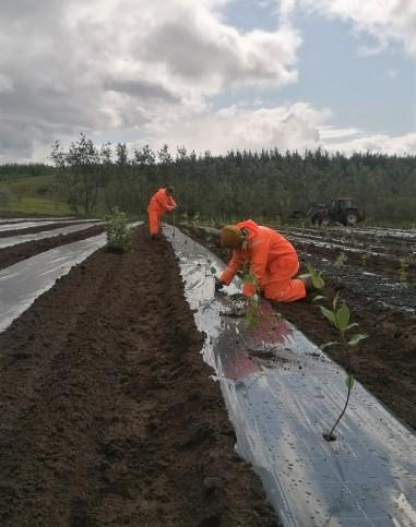 Tree planting at Tumastaðir (Rahel Paasch)